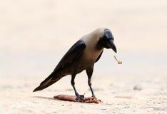 Cuervo indio imágenes de archivo libres de regalías