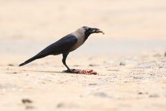 Cuervo indio foto de archivo libre de regalías