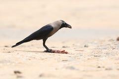 Cuervo indio imagenes de archivo