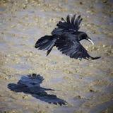 Cuervo ingenioso rápido Fotos de archivo