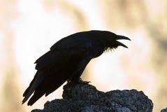 Cuervo negro fotos de archivo libres de regalías