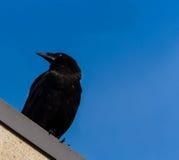 Cuervo negro imagen de archivo