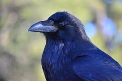 Cuervo negro Imágenes de archivo libres de regalías