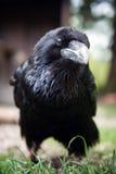 Cuervo negro Imagen de archivo libre de regalías