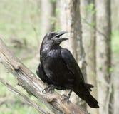 Cuervo negro. Foto de archivo