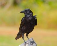 Cuervo negro Fotografía de archivo libre de regalías