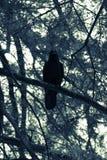 Cuervo negro en blanco y negro Imagenes de archivo