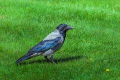 Cuervo negro en hierba verde fotos de archivo libres de regalías