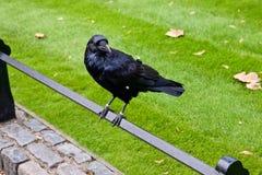 Cuervo negro en la torre de Londres Fotos de archivo