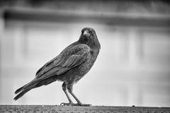 Cuervo negro en una cerca Imágenes de archivo libres de regalías