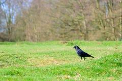 Cuervo negro en una hierba verde Foto de archivo libre de regalías