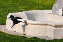 cuervo negro en verde imagen de archivo