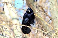Cuervo negro que se sienta en una rama en el bosque Imagenes de archivo
