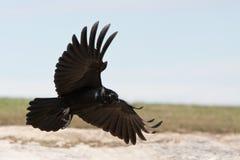 Cuervo negro que viene adentro aterrizar. Foto de archivo libre de regalías