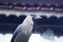 Cuervo observando a seres humanos Fotografía de archivo libre de regalías