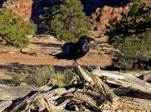Cuervo, parque nacional de Canyonlands Fotografía de archivo libre de regalías