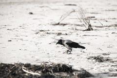 Cuervo que camina abajo de la arena de la playa - apariencia vintage retra Imagenes de archivo