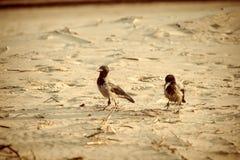 Cuervo que camina abajo de la arena de la playa - apariencia vintage retra Foto de archivo