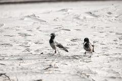 Cuervo que camina abajo de la arena de la playa - apariencia vintage retra Fotos de archivo
