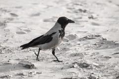 Cuervo que camina abajo de la arena de la playa - apariencia vintage retra Imagen de archivo libre de regalías