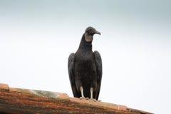 Cuervo que mira alrededor Foto de archivo