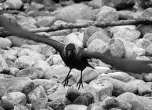 Cuervo que saca de fondo rocoso con mirar fijamente de las garras fotos de archivo