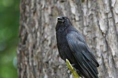 Cuervo que se coloca en una rama de un árbol Fotos de archivo libres de regalías
