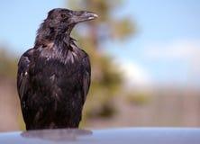 Cuervo que se sienta en la azotea del coche Imagen de archivo libre de regalías