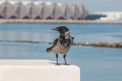 Cuervo que se sienta en la cerca de la costa Foto de archivo