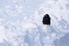 Cuervo que se sienta en la nieve acumulada por la ventisca Imagenes de archivo