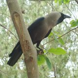 Cuervo que se sienta en una rama Foto de archivo libre de regalías