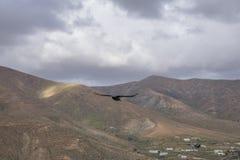 Cuervo que vuela sobre las montañas en las islas Canarias Las de Fuerteventura Imagen de archivo libre de regalías