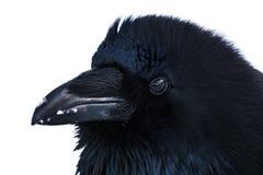 Cuervo salvaje fotografía de archivo libre de regalías