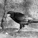 Cuervo solitario Fotografía de archivo libre de regalías