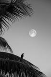 Cuervo solo Imagen de archivo