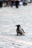 Cuervo solo que camina a través de los adoquines de la ciudad Fotos de archivo libres de regalías