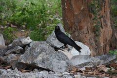 Cuervo srilanqués Fotografía de archivo libre de regalías