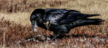 Cuervo y su cena del chorlito Fotos de archivo libres de regalías
