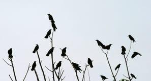Cuervos Fotografía de archivo libre de regalías