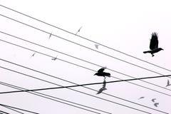 Cuervos Fotografía de archivo