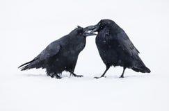 Cuervos Imagenes de archivo