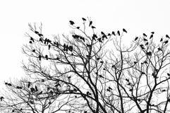 Cuervos Imagen de archivo