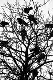 Cuervos Fotos de archivo