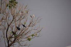 cuervos Imagen de archivo libre de regalías