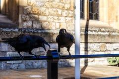 Cuervos adentro de la torre de Londres Imágenes de archivo libres de regalías