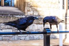 Cuervos adentro de la torre de Londres Fotografía de archivo