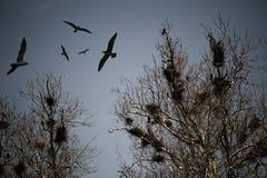 Cuervos asustadizos Imagen de archivo libre de regalías