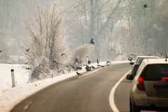 Cuervos cerca del camino que busca la comida fotografía de archivo