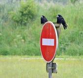 cuervos como heraldos de la muerte Fotografía de archivo libre de regalías