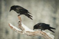 Cuervos comunes Imagen de archivo